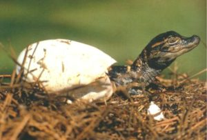 hatchingalligatorjpg2